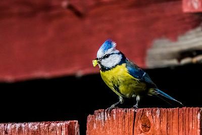 Sinitiainen - Blue Tit - Parus caeruleus