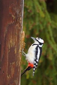 Great spotted woodpecker - Käpytikka - Dendrocopos major