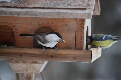 Hömötiainen - Willow Tit - Parus montanus