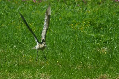 Kuovi - Eurasian Curlew - Numenius arquata