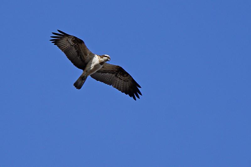Osprey - Kalasääksi - Pandion haliaetus