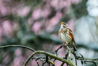 Redwing - Punakylkirastas - Turdus iliacus