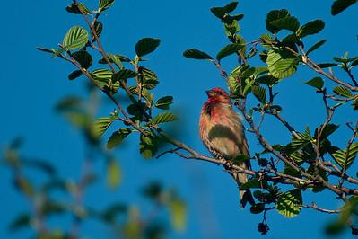 Punavarpunen - Common Rosefinch - Carpodacus erythrinus