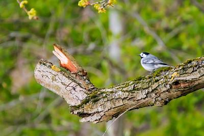 White Wagtail -Västäräkki - Motacilla alba