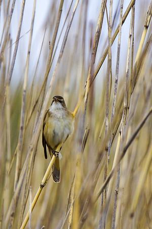 Great reed warbler - Rastaskerttunen - Acrocephalus arundinaceus