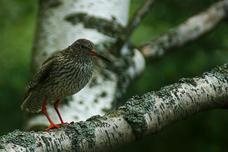 Punajalkaviklo - Tringa totanus - Common redshank