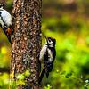 Great spotted woodpecker - Dendrocopos major - Käpytikka