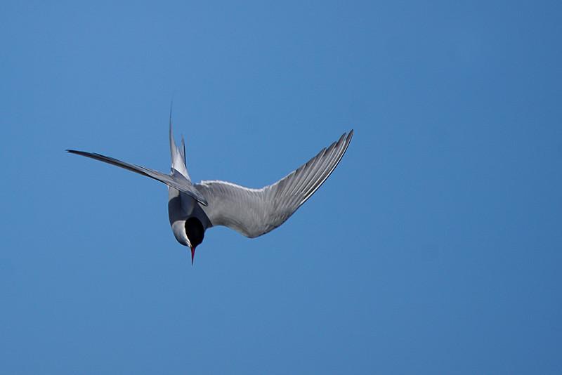 Arctic tern - Lapintiira - Sterna paradisaea