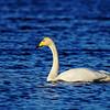 Whooper Swan - Laulujoutsen - Cygnus cygnus