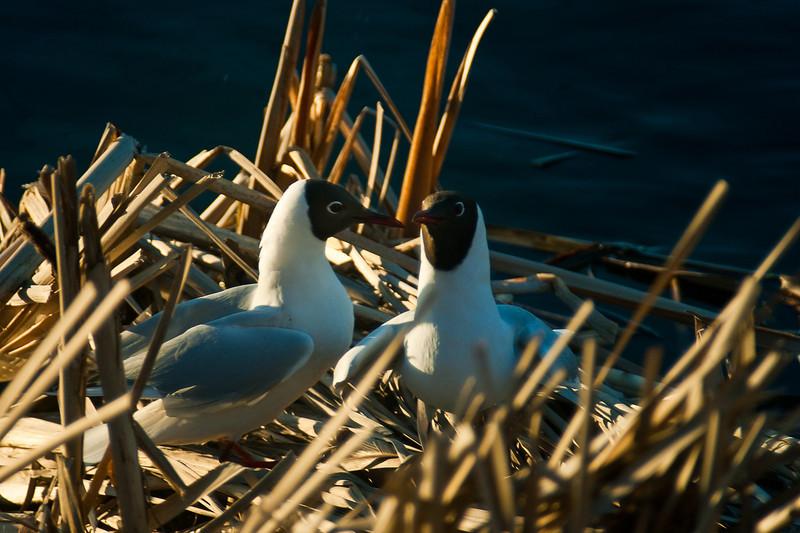 Naurulokki - Black-headed gull - Larus ridibundus