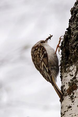 Eurasian treecreeper - Puukiipijä - Certhia familiaris