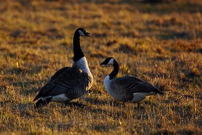 Kanadanhanhi - Canada Goose - Branta canadensis