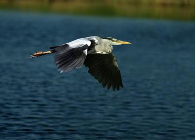 Grey Heron - Harmaahaikara - Ardea cinerea