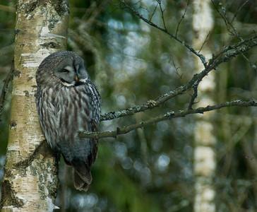 Lapinpöllö - Great Grey Owl - Strix nebulosa Viikki, Helsinki 2012