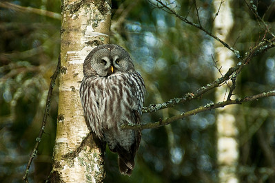 Lapinpöllö - Great Grey Owl - Strix nebulosa