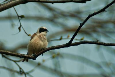 Pussitiainen - Eurasian Penduline Tit - Remiz pendulinus