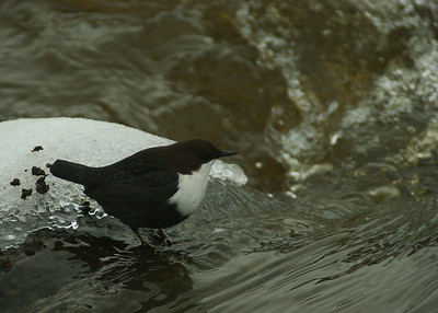 White-throated Dipper - Koskikara - Cinclus cinclus