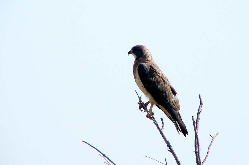 possible SWAINSON'S HAWK (light Morph)<br /> Rio Grande River area <br /> just north of Sevilleta N.W.R.<br /> August 2007
