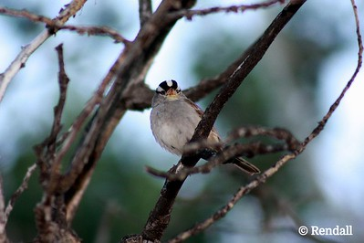 Sparrow-White-Crowned