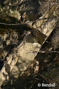 Owl-Great Horned - Two Juveniles