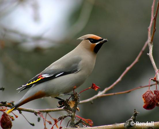 North American-Birds