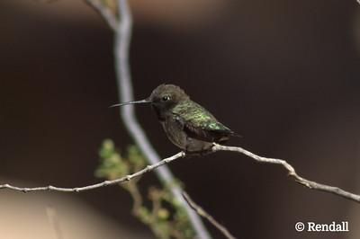 Hummingbird-Black Chinned
