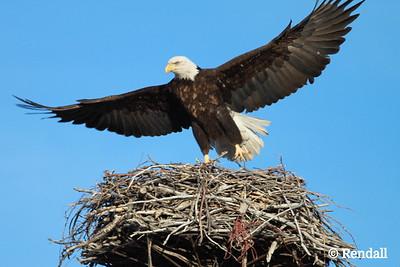 Eagle- Baled