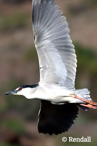 Heron-Black Crowned-Night
