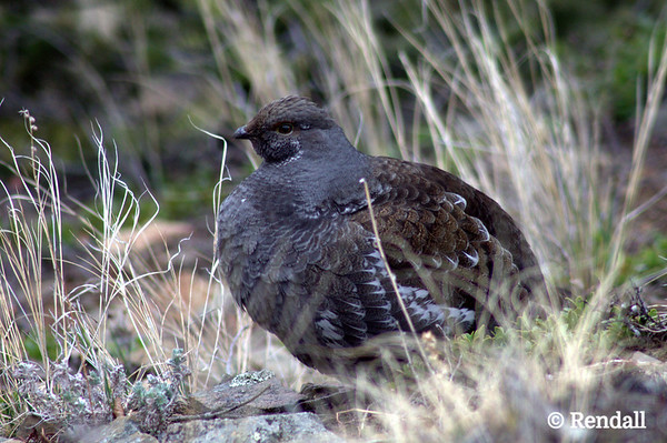 Grouse - Blue, female