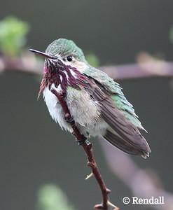 Humming Bird - Calliope
