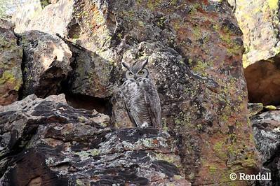 Owl-Great Horned