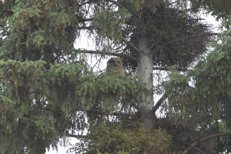 Great Horned Owlet, Fairbanks, Alaska