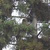 Great Horned Owlet, Fairbanks, Alaska