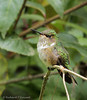 Scintillant Hummingbird - female