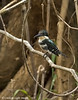 Green Kingfisher-female