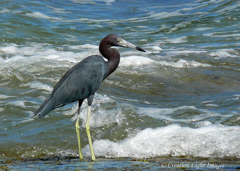Little Bue Heron