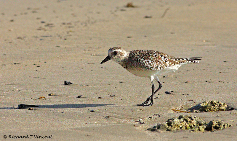 Black-bellied Plover 2