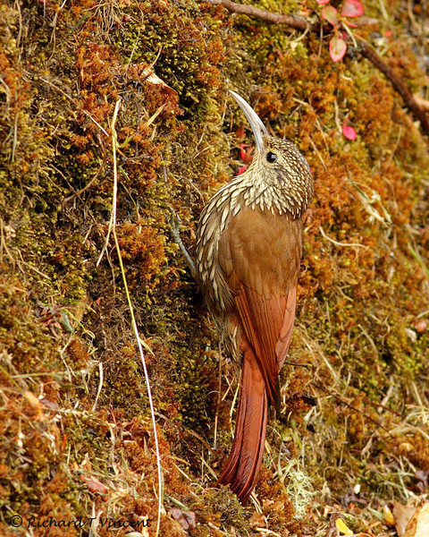 Spotted-crowned Woodcreeper