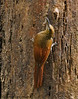 Barred Woodcreeper