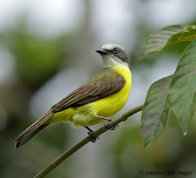Gray-capped Flycatcher