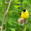 Goldfinch eating thistle, Wild Goose Trail, 2016