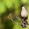Singing catbird, June 2016, along the Wild Goose Trail