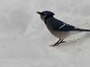 Blue Jay (UCBS)