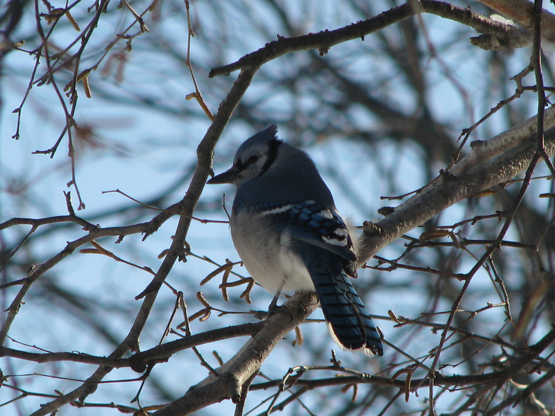 Blue Jay (backyard)