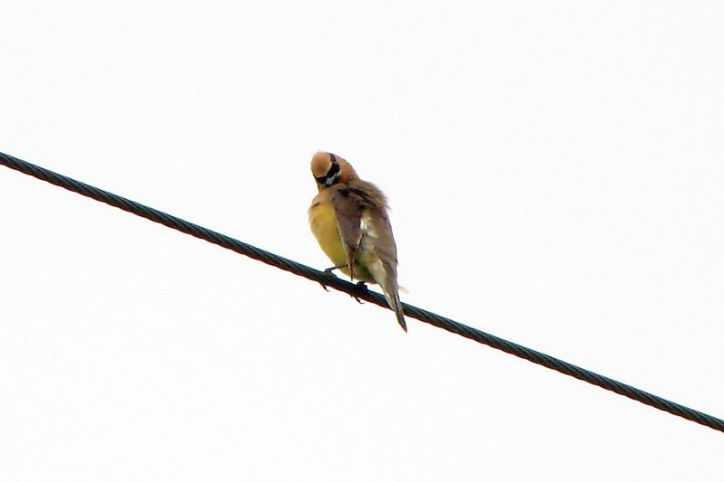 CEDAR WAXWING<br /> Presque Isle State Park<br /> August 2007
