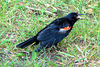 RED-WINGED BLACKBIRD<br /> Presque Isle State Park<br /> August 2007