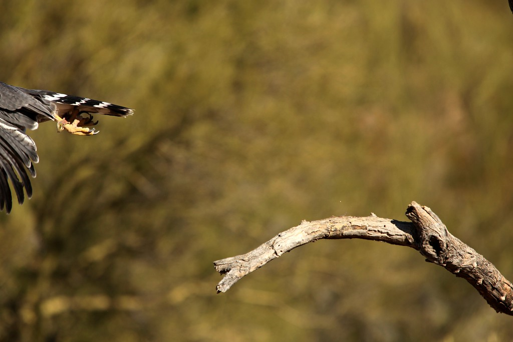 IMAGE: http://www.jecottrell.com/Animals/Birds-Raptors/i-WqjcKZq/0/XL/IMG_7722-XL.jpg
