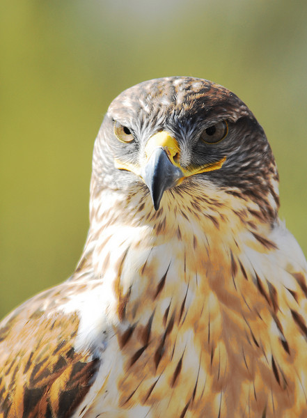 Ferruginous Hawk, slideshow1