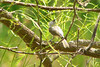 """""""BLACK-CRESTED"""" TUFTED TITMOUSE<br /> MAy 2007"""