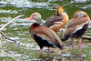 FULVOUS WHISTLING-DUCK (center)<br /> & BLACK-BELLIED WHISTLING DUCKS<br /> May 2007